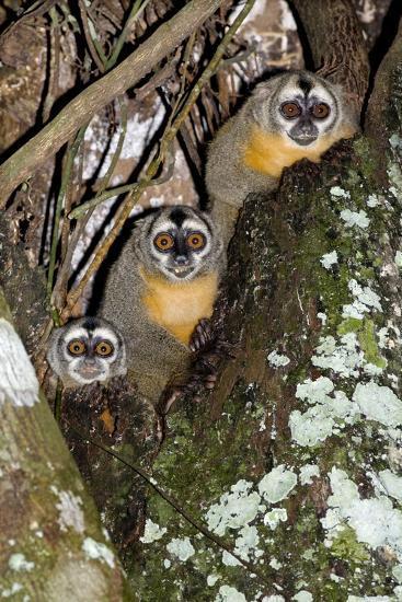 Three-striped Owl Monkeys-Tony Camacho-Photographic Print