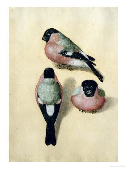 Three Studies of a Bullfinch-Albrecht D?rer-Premium Giclee Print