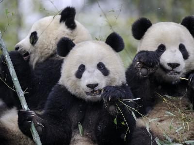 Three Subadult Giant Pandas Feeding on Bamboo, Wolong Nature Reserve, China-Eric Baccega-Photographic Print