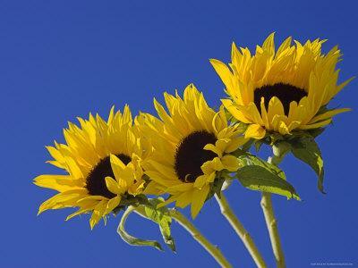 https://imgc.artprintimages.com/img/print/three-sunflowers-blooms-helianthus-annuus-united-kingdom_u-l-p1u76f0.jpg?p=0