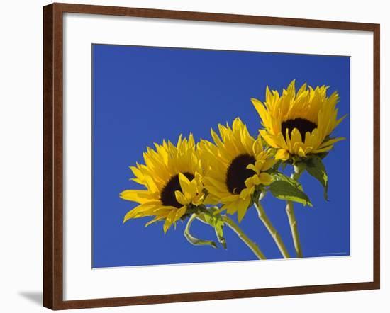 Three Sunflowers Blooms, Helianthus Annuus, United Kingdom-Steve & Ann Toon-Framed Photographic Print