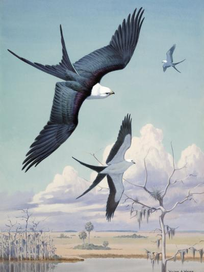 Three Swallow-Tailed Kite Birds Soar over Southern Swamp Land-Walter Weber-Photographic Print