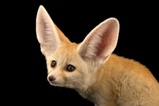 Three, Ten Week Old Fennec Fox Kits, Vulpes Zerda, at the Saint Louis Zoo.-Joel Sartore-Photographic Print