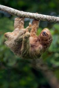 Three-Toed Sloth (Bradypus tridactylus) hanging on branch, Sarapiqui, Costa Rica