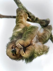 Three-Toed Sloth, Sarapiqui, Costa Rica