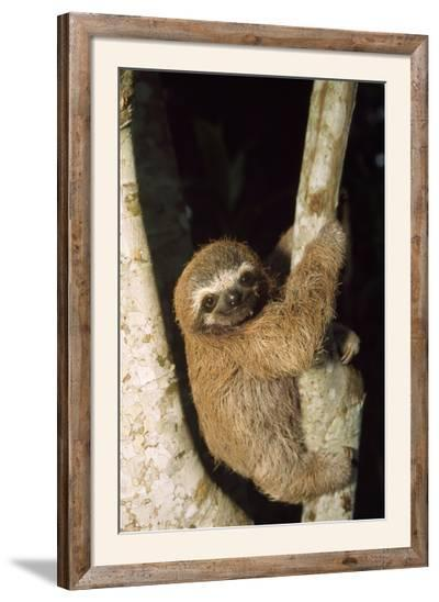 Three-Toed Sloth--Framed Photographic Print