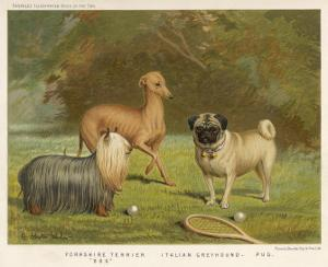 Three Toy Dogs, a Pug an Italian Greyhound and a Yorkshire Terrier