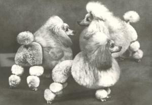 Three Trimmed Miniature Poodles