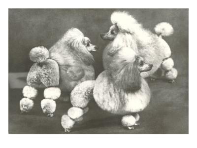 Three Trimmed Miniature Poodles--Art Print
