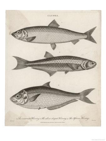 https://imgc.artprintimages.com/img/print/three-types-of-herring-1-common-herring-2-silver-striped-herring-3-african-herring_u-l-ottq50.jpg?p=0