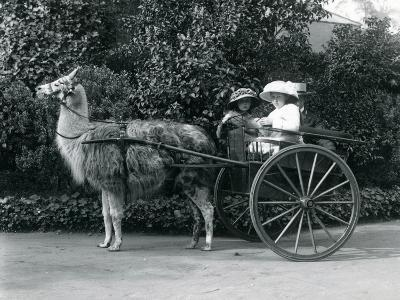 Three Visitors, Including Two Young Girls, Riding in a Cart Pulled by a Llama, London Zoo, C.1912-Frederick William Bond-Photographic Print