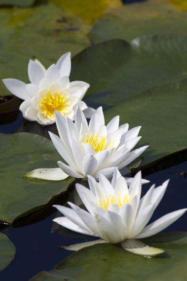 Three Water Lilies.-gjphotography-Photographic Print