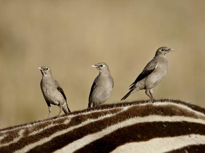 Three Wattled Starling on the Back of a Zebra, Masai Mara National Reserve-James Hager-Photographic Print