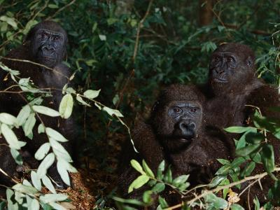 Three Western Lowland Gorillas Sit in the Jungle--Photographic Print