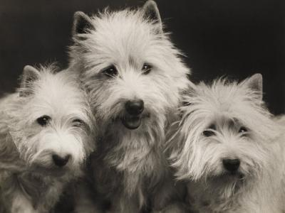Three Westie Heads All Owned by Miss De Berry--Photographic Print