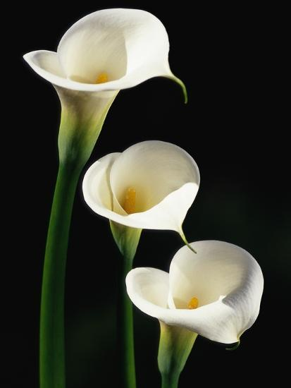 Three White Calla Lilies-Darrell Gulin-Photographic Print