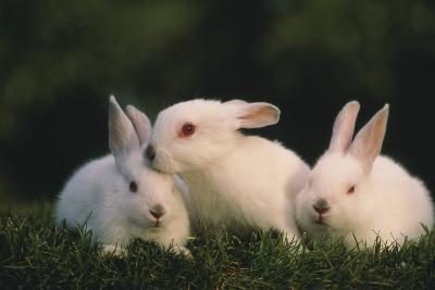 Three White Rabbits-DLILLC-Photographic Print