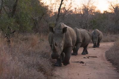 Three White Rhinoceros, Ceratotherium Simum, Walking in a Line at Dusk-Sergio Pitamitz-Photographic Print