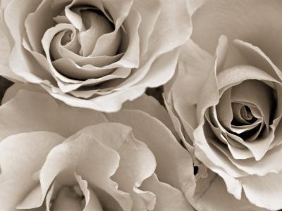 Three White Roses-Robert Cattan-Premium Photographic Print