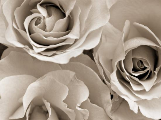 Three White Roses-Robert Cattan-Photographic Print