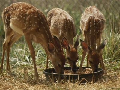 https://imgc.artprintimages.com/img/print/three-white-tailed-deer-fawns-odocoileus-virginianus-eat-from-a-bowl-of-grain_u-l-p3qou30.jpg?p=0