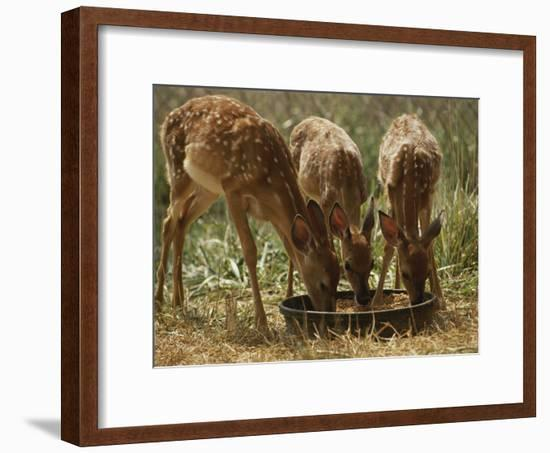 Three White-Tailed Deer Fawns (Odocoileus Virginianus) Eat from a Bowl of Grain-Raymond Gehman-Framed Photographic Print