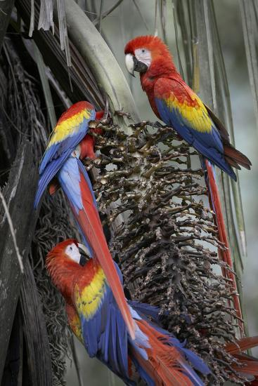 Three Wild Scarlet Macaws Feeding on Palm Fruits, Costa Rica-Tim Fitzharris-Photographic Print