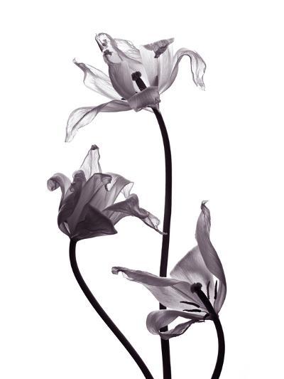 Three Withered Transparent Tulips on White Background Desaturated-Zaretska Olga-Photographic Print