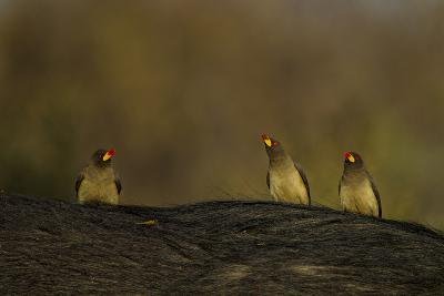 Three Yellow-Billed Oxpeckers Perch on Top of an African Buffalo, Syncerus Caffer-Beverly Joubert-Photographic Print