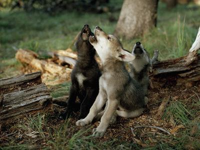 Three Young Male Gray Wolf Pups Howl-Jim And Jamie Dutcher-Photographic Print