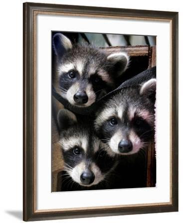 Three Young Raccoons Peer out of Their Nest at the Florida Wild Mammal Association--Framed Photographic Print