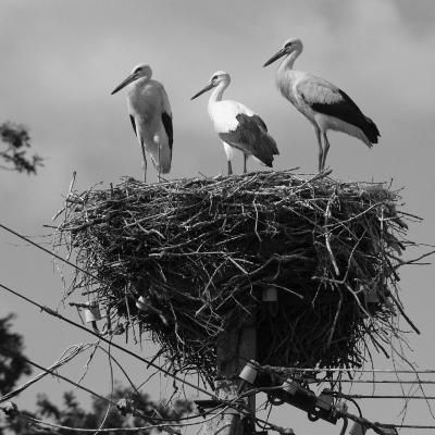 Three Young Storks Standing on their Nest-Keenpress-Photographic Print