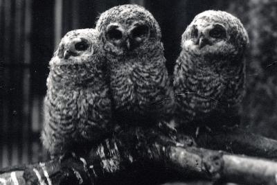 Three Young Tawny Owls Sit on a Branch-Frederick William Bond-Photographic Print