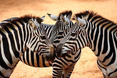Three Zebras Kissing-worakit-Photographic Print