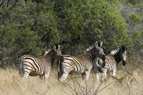 Three Zebras Stand in Tall Grass-Steve Winter-Photographic Print