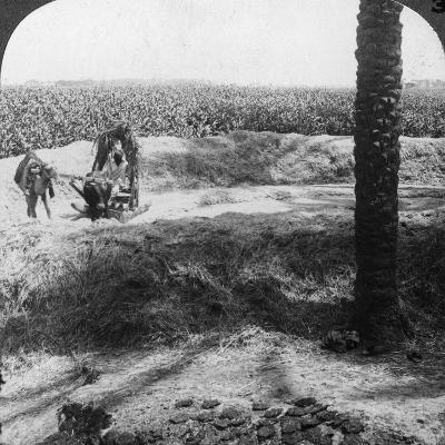 Threshing in Egypt, 1905-Underwood & Underwood-Photographic Print