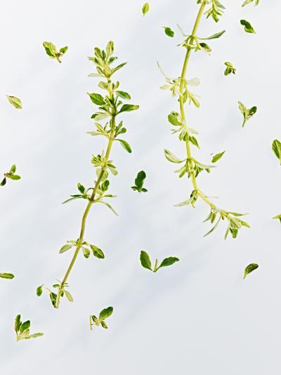Thyme, Thymus Vulgare, Twigs, Leaves, Green-Axel Killian-Photographic Print