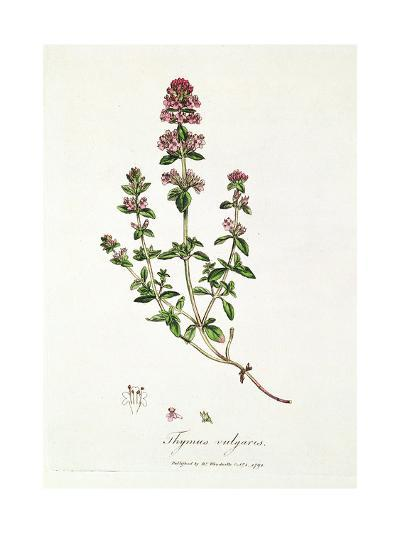 Thyme: Thymus Vulgarus, Published by Dr. Woodville, 1791--Giclee Print