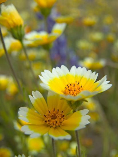 Tiddy Tips and Lupine, Shell Creek, California, USA-Terry Eggers-Photographic Print