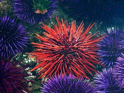 Tide Pool With Sea Urchins, Olympic Peninsula, Washington, USA-Charles Sleicher-Photographic Print