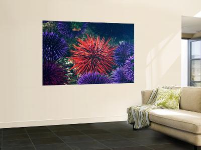 Tide Pool With Sea Urchins, Olympic Peninsula, Washington, USA-Charles Sleicher-Wall Mural