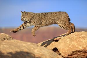 Bobcat by Tier Und Naturfotografie J und C Sohns