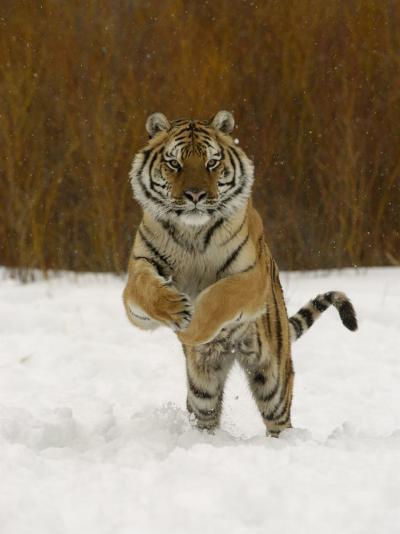 Tiger Adult Running Through Snow, Winter-Daniel J. Cox-Photographic Print