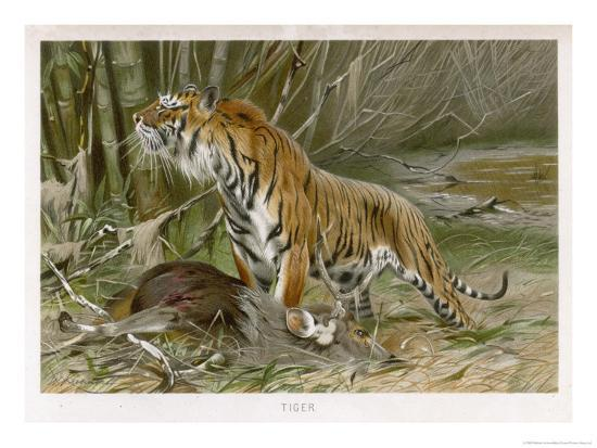 Tiger and Its Freshly Killed Prey a Deer in This Case-Wilhelm Kuhnert-Giclee Print