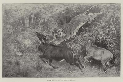 Tiger Attacking Nylghaie in their Native Jungle-Harrington Bird-Giclee Print