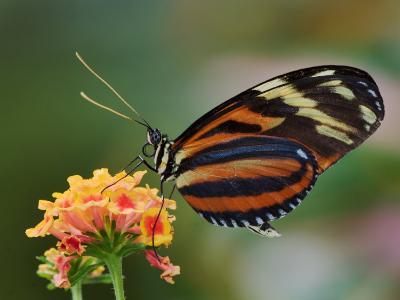 Tiger Butterfly-Adam Jones-Photographic Print