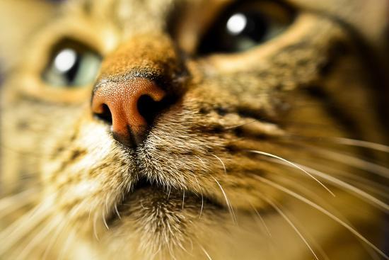 Tiger Cat Nose-Volanthevist-Photographic Print
