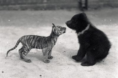 Tiger Cub Meets Bear Cub, 1914-Frederick William Bond-Photographic Print