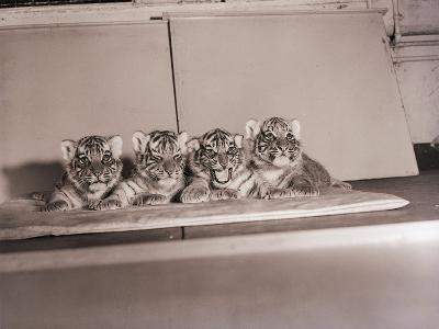 Tiger Cub Quadruplets at Bronx Zoo--Photographic Print