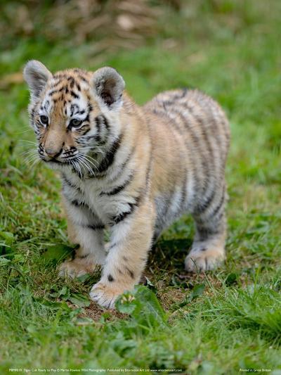 Tiger Cub Ready to Play Full Bleed-Martin Fowkes-Giclee Print